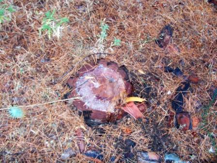 ¿Este es un ejemplo de pino enfermo?. Foto: Eloy Barrios